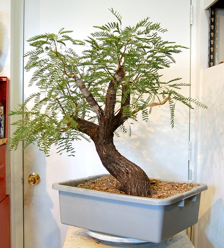 any one else doing any Mesquite Bonsai out there?  8033218728_7148f0132c