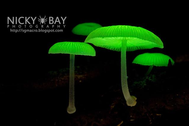 Bioluminescent Fungi (Mycena illuminans?) - DSC_8002