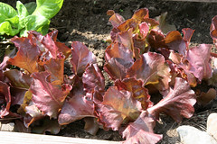 lettuce Butterhead Red, Skypho 072