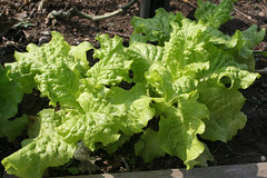 lettuce black seeded simpson 067