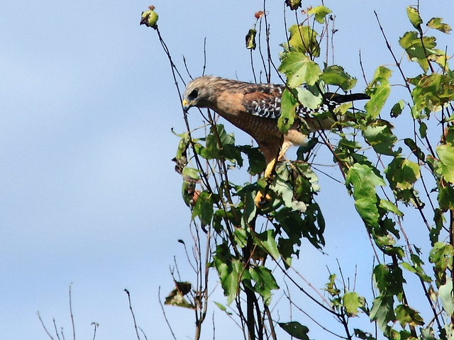 Red-shouldered Hawk 20120930