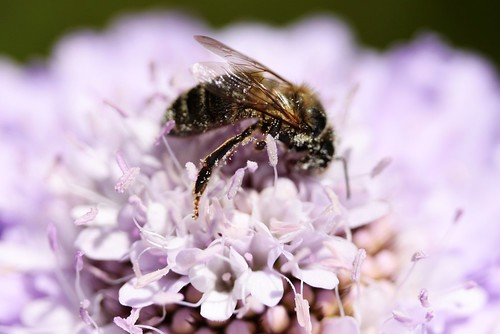 Bee on Pink Flower 1 by StephenMitchell