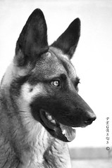 gray wolf(0.0), east siberian laika(0.0), greenland dog(0.0), dog breed(1.0), german shepherd dog(1.0), animal(1.0), dog(1.0), czechoslovakian wolfdog(1.0), pet(1.0), norwegian elkhound(1.0), tamaskan dog(1.0), monochrome photography(1.0), wolfdog(1.0), saarloos wolfdog(1.0), east-european shepherd(1.0), native american indian dog(1.0), jã¤mthund(1.0), shiloh shepherd dog(1.0), carnivoran(1.0), black-and-white(1.0),