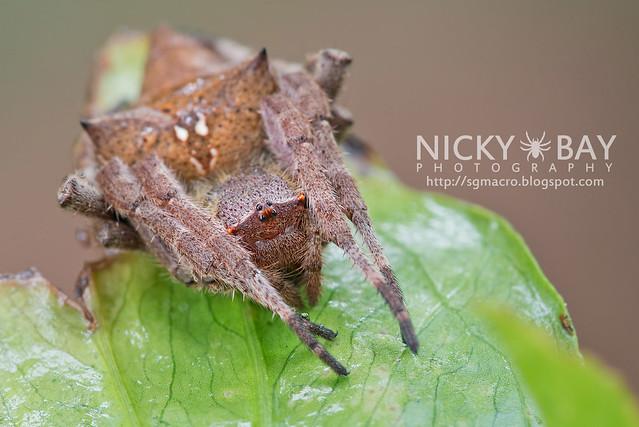 Common Garden Spider (Parawixia dehaani) - DSC_7573