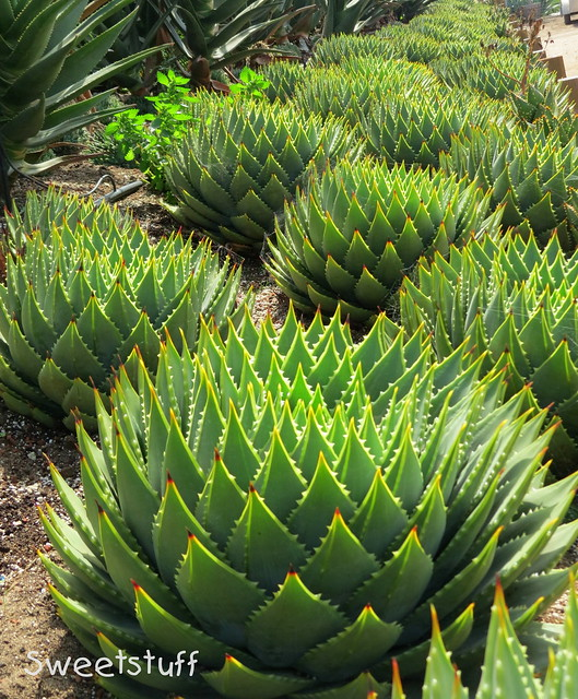 Aloe polyphylla all in a row