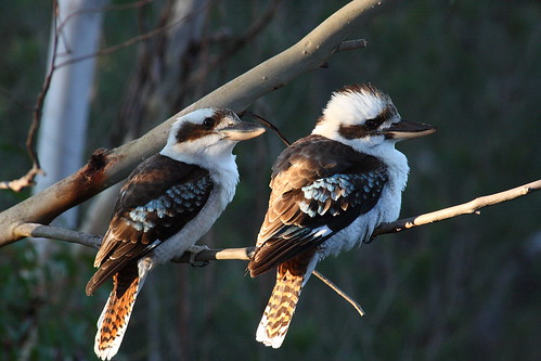 Kookaburras watching, waiting..