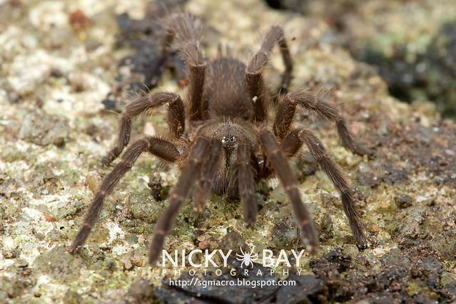 Tarantula (Phlogiellus inermis) - DSC_6951
