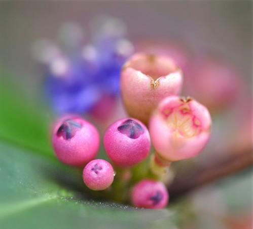 macro art singapore botanicalgarden memecyloncaeruleum nipiskulit bluestrawberryflowers