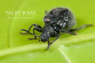 Darkling Beetle (Tenebrionidae) - DSC_4064