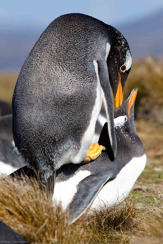 Mating Gentoo Penguins by Derek Pettersson