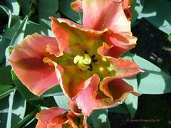Dutch Tulips, Keukenhof Gardens, Netherlands - 4011