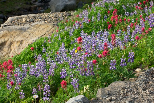 Lupine & Magenta Paintbrush - Paradise at Rainier NP