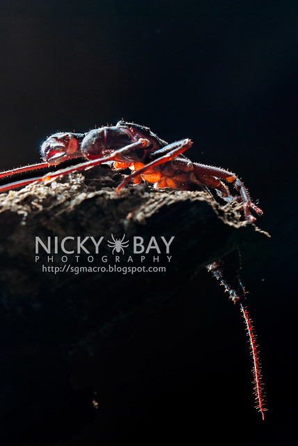 Whip Scorpion (Thelyphonida) - DSC_3154