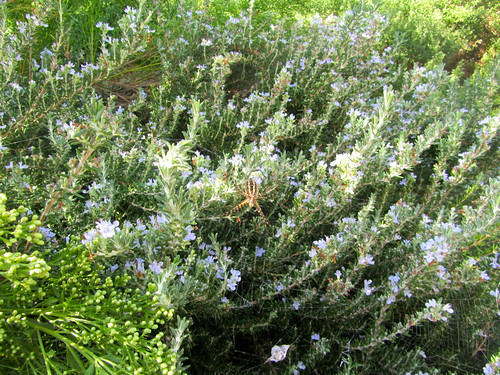 enormous spider in the rosemary