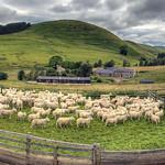 Barrowburn Sheep