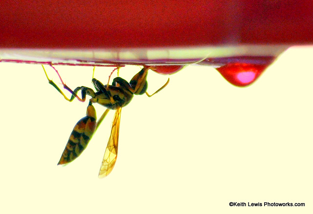 Wasp Drinking at Hummingbird Feeder