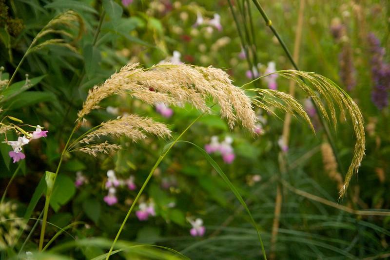 acnatherum calamagrostis  2084