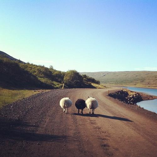 Ovejas islandesas, siempre de tres en tres. En este caso circulando por la Road 1, la carretera principal de Islandia #tripiniceland #iceland #islandia