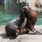 Sea Lion at the Smithsonian's National Zoo