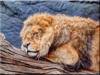 The Lion Sleeps Today