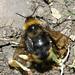 Bombus campestris (Field Cuckoo-bee)