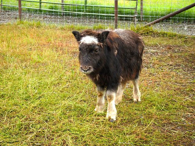 Musk Ox Farm, Alaska