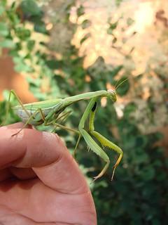 Mantidae, Mantis religiosa, adult female