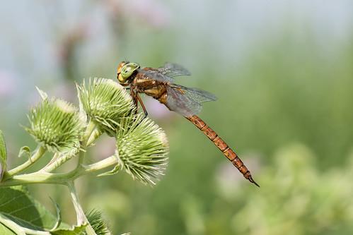 dragonfly norfolk hawker aeshna isoceles