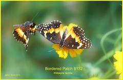 Bordered Patch Butterfly photography by Ron Birrell; DSC_8132
