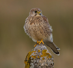 Birds of Prey  ( exc Owls )  inc BBC Autumnwatch Favourite