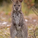 Bennett's Wallaby joey