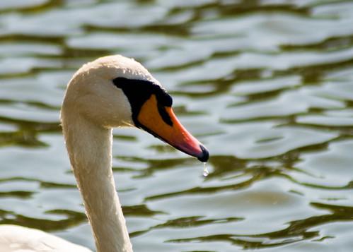 London - Mute Swan - 09-09-12