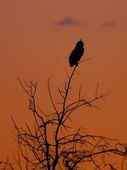 Great Horned Owl at dusk