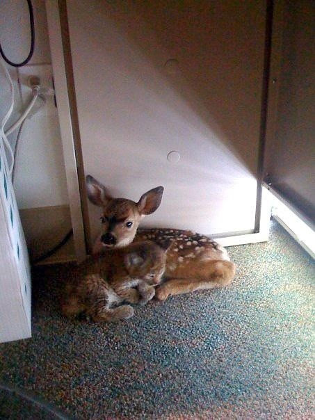 A bobcat kitten and a fawn cuddling together after being rescued from a wildfire [pic]