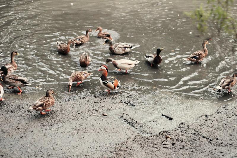 duckies9
