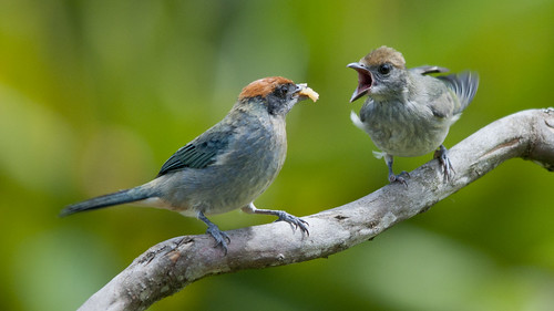 Explored-Tangara vitriolina mother & child (scrub tanager)