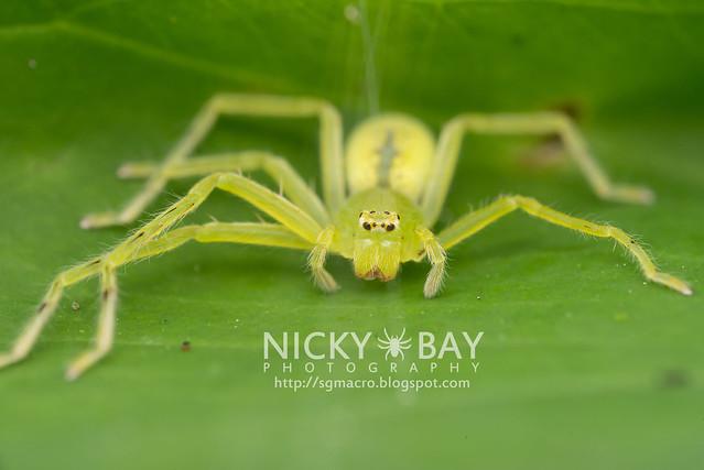 Huntsman Spider (Sparassidae) - DSC_2701