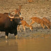 Gaur and Spotted Deer, Satpura (David Raju)