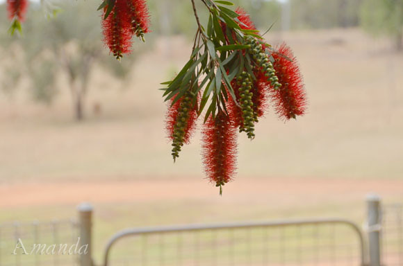 bottlebrush_1508