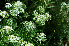 flower, cow parsley, cicely, plant, subshrub, anthriscus, flora, angelica, meadowsweet, caraway,