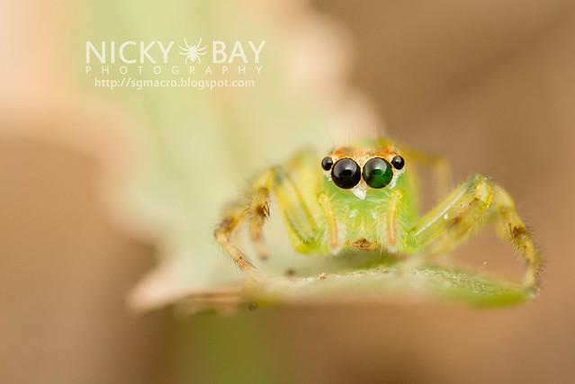 Yellow-Lined Epeus Spider (Epeus flavobilineatus) - DSC_6039