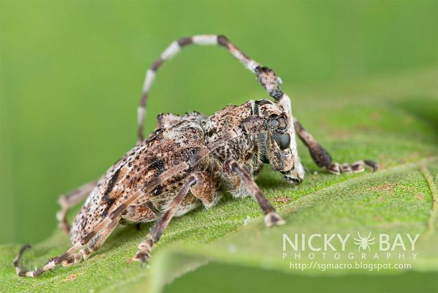 Longhorn Beetle (Cerambycidae) - DSC_5474