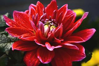 高景深 菊花3