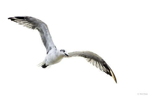 Tampa Bay Gull