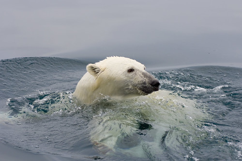 Male polar bear swimming in Beaufort Sea
