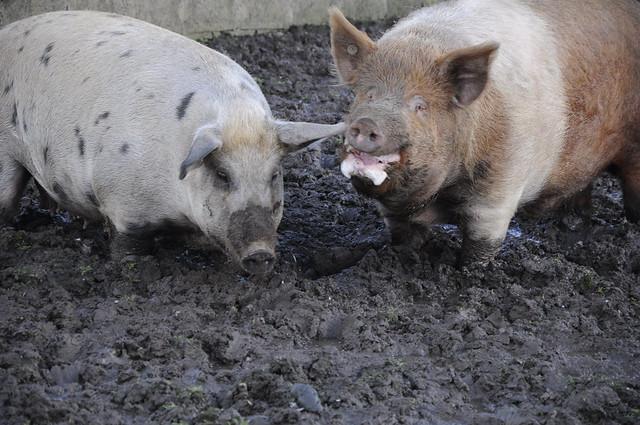 Tratar dos porcos foi uma das obrigações do trabalho na fazenda. Foto de Leonardo Dupin.