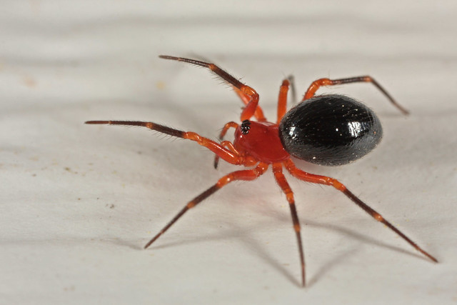 Dwarf Spider