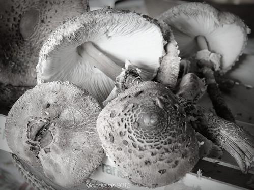mazza da tamburo-parasol mushroom