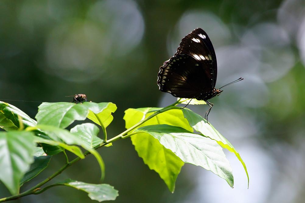 琉球紫蛺蝶-2