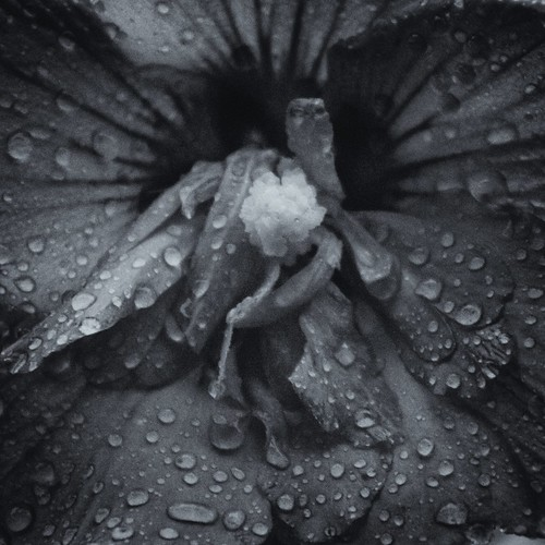 Petals by laguglio